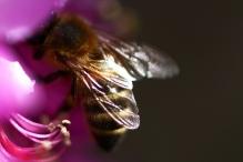 HoneyBeeatKew