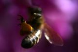 HoneyBeeatKew2