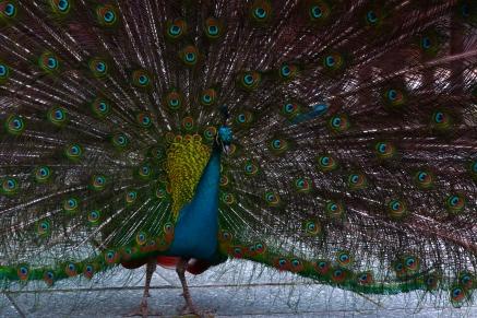 PeacockOpenAtKew