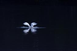 landinggull