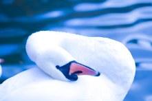 Swan16.10.2