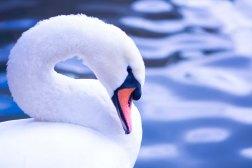 Swan16.10.4_2