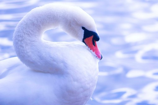 Swan16.10