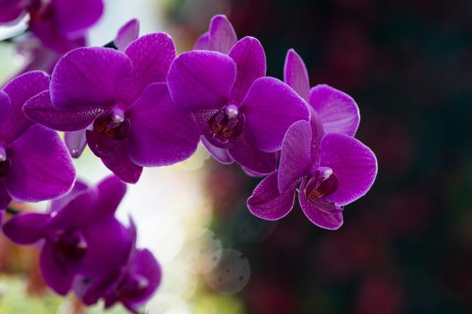 orchids11